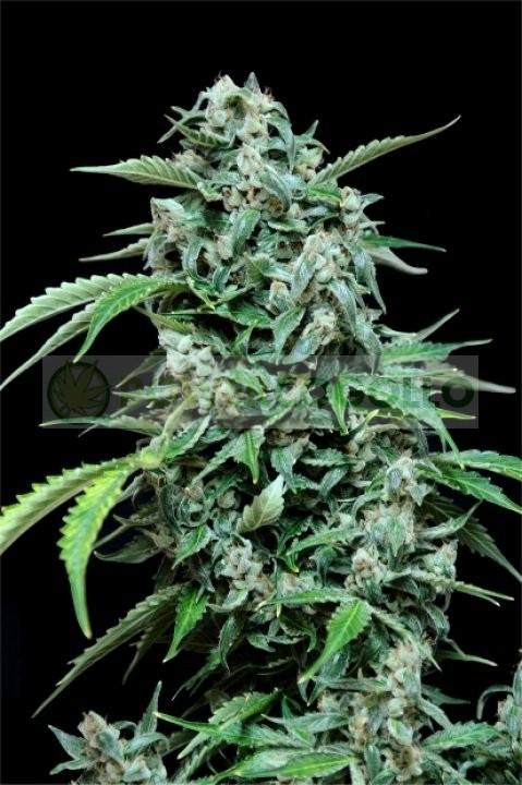 Maxi Haze Automatic (GRass-o-Matic) Semilla feminizada Autofloreciente Cannabis 2