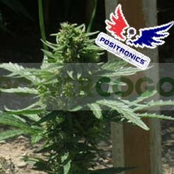 May Day Express (Positronics Seeds) 0
