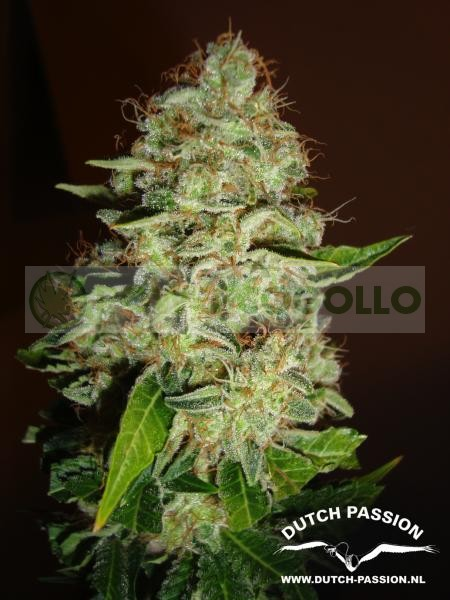 Mazar (Dutch Passion Seeds) Feminizada  1