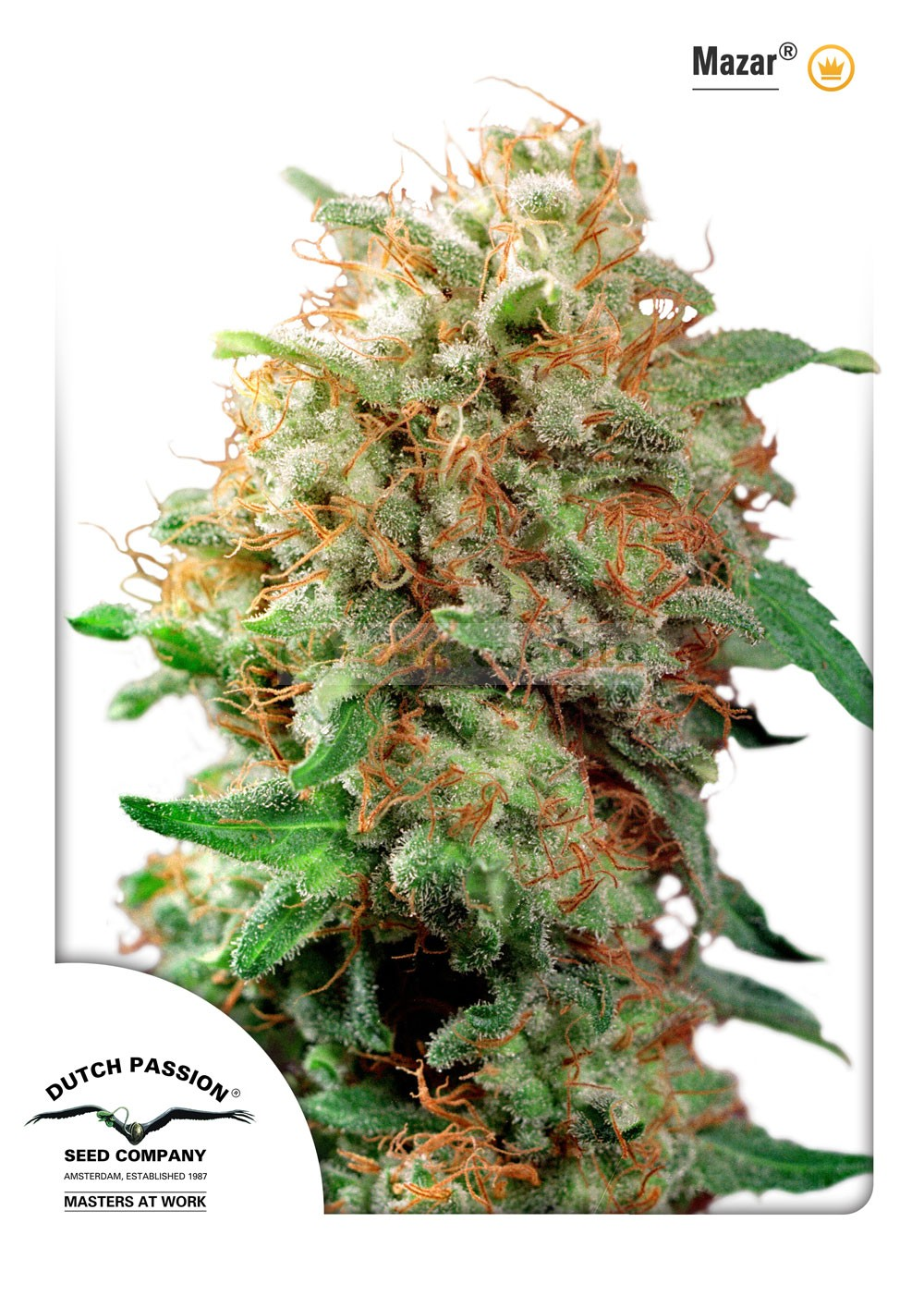 Mazar (Dutch Passion Seeds) Feminizada  2