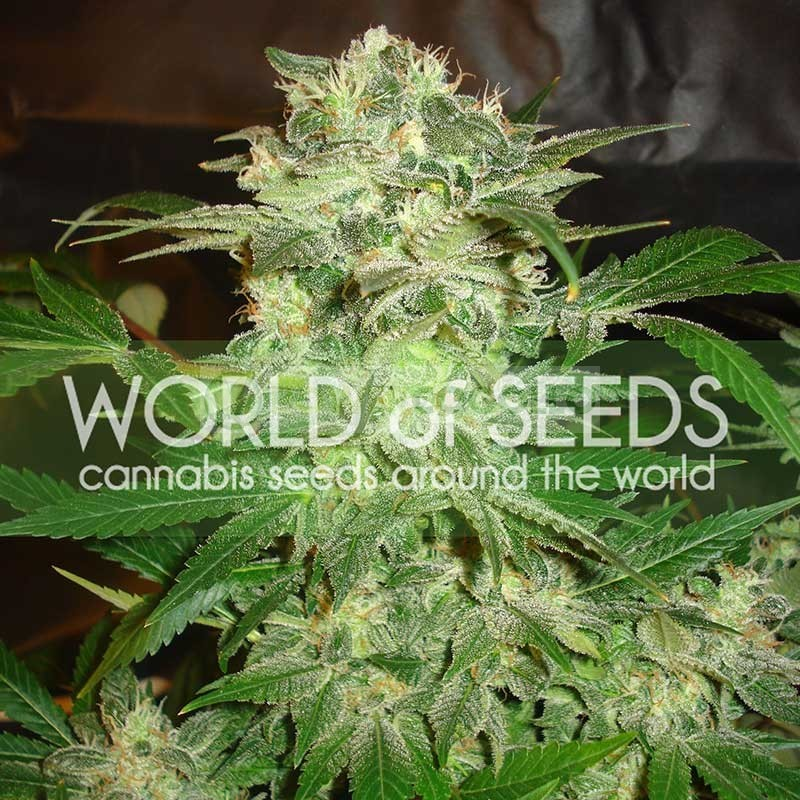Mazar Kush (World of Seeds) Feminizada 1