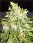 MAZAR X GREAT WHITE SHARK (WORLD OF SEEDS) MEDICAL COLLECTION 0
