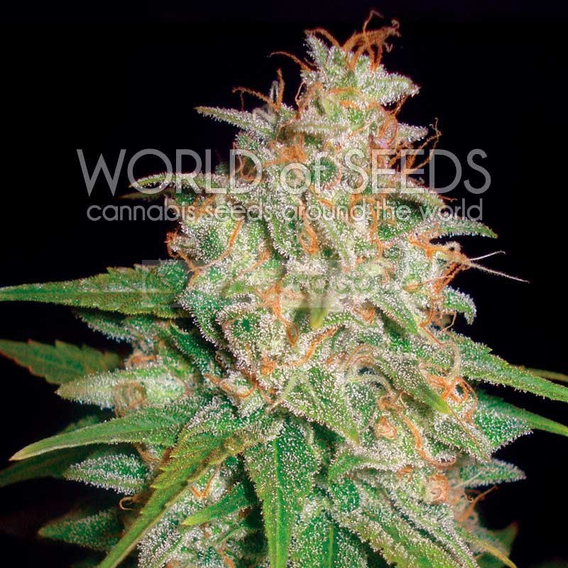 Mazar x White Rhino (World of Seeds) Semilla Cannabis Feminizados Medical Collection 2