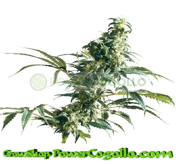 Mexican Sativa Feminizada (Sensi Seeds) 1