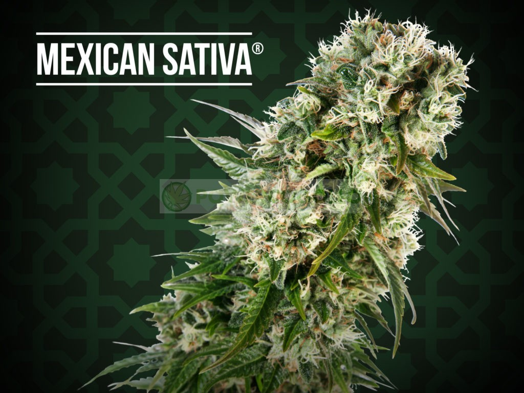 Mexican Sativa Regular (Sensi Seeds) 1