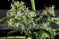 Semillas de marihuana Moby Dick#2 Feminizadas de Dinafem. 0