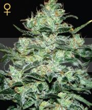 Moby Dick (Green House) Semilla Feminizada Cannabis-Marihuana Moby Dick (Green House) 0