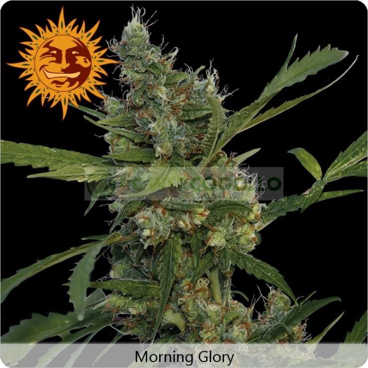 Morning Glory 1