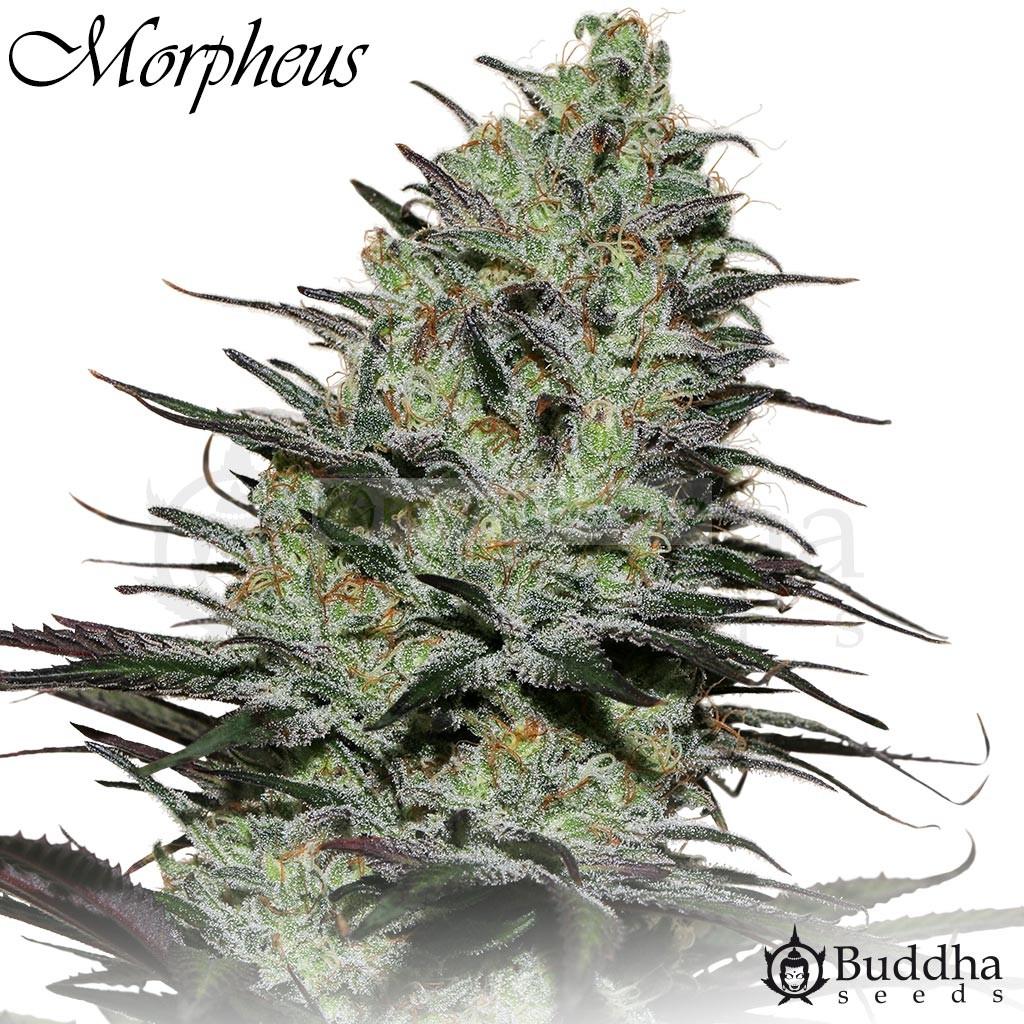 Morpheus CBD (Buddha Seeds) 0