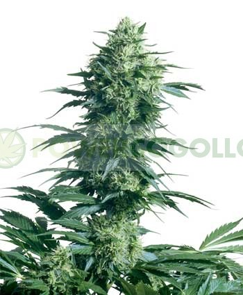 Mother's Finest (Sensi Seeds) Semilla de Marihuana Regular 0