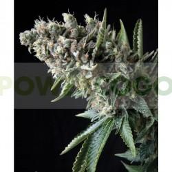 Auto Nefertiti (Pyramid Seeds) Semilla Feminizada Marihuana Automática planta enana. 0