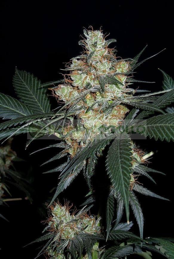 Nepal Jam Feminizada (Ace Seeds) 2