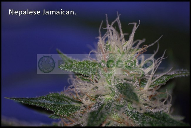 Nepal Jam Feminizada (Ace Seeds) 3