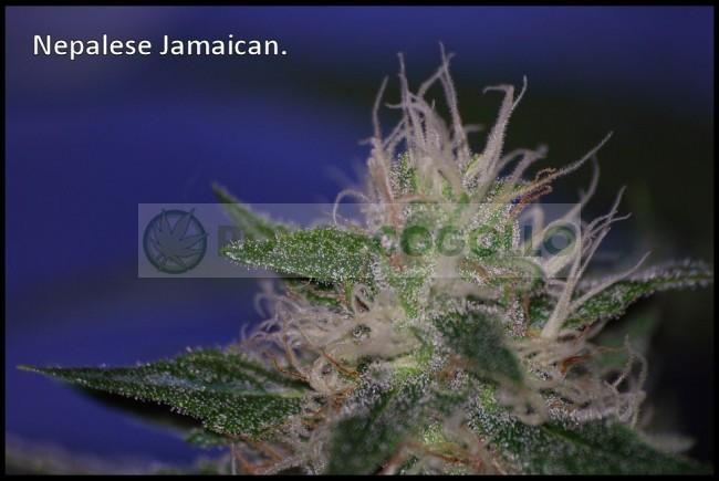 Nepal Jam Regular (Ace Seeds) 3