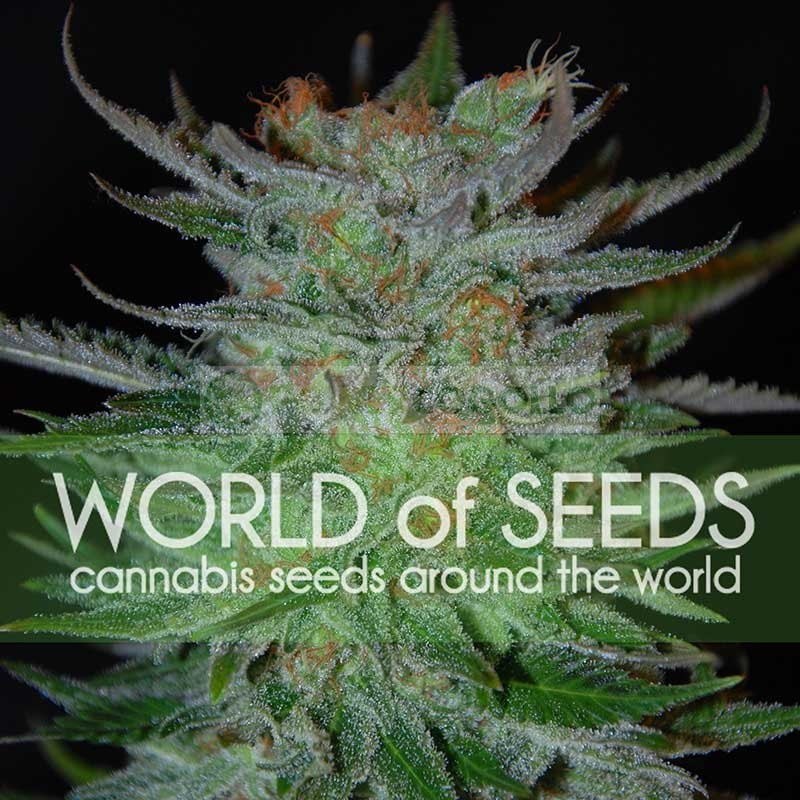 New York Special (World of Seeds) Feminizada 1