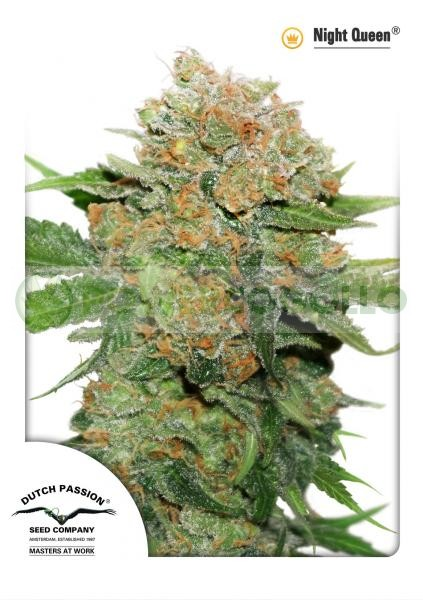 Night Queen (Dutch Passion) Cannabis seeds 1