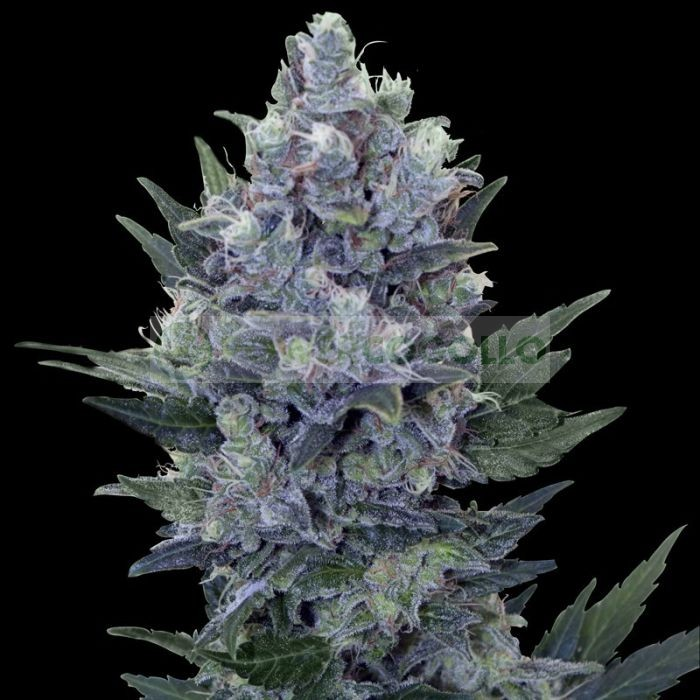 Northern Light Automatic (Royal Queen Seeds) Semilla Feminizada Marihuana Autofloreciente 100% 1