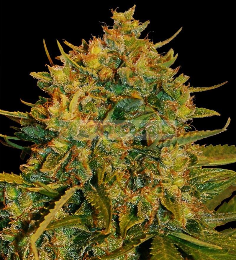 Northern Light x Big Bud Auto (World of seeds) 0
