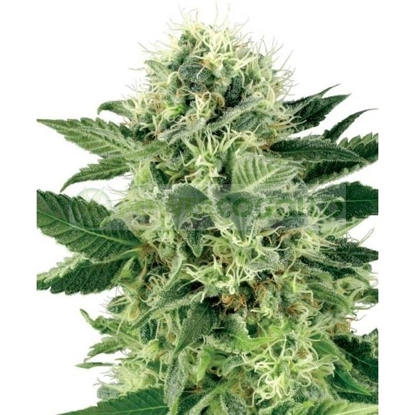 Northern Lights Regular (Sensi Seeds) 1