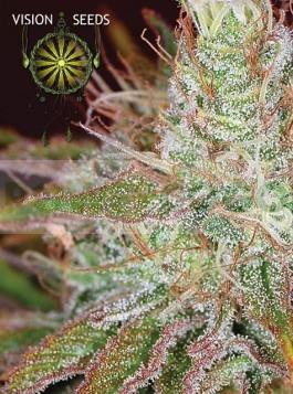 Northern Lights (Vision Seeds) Semilla Cannabis Feminizada 0