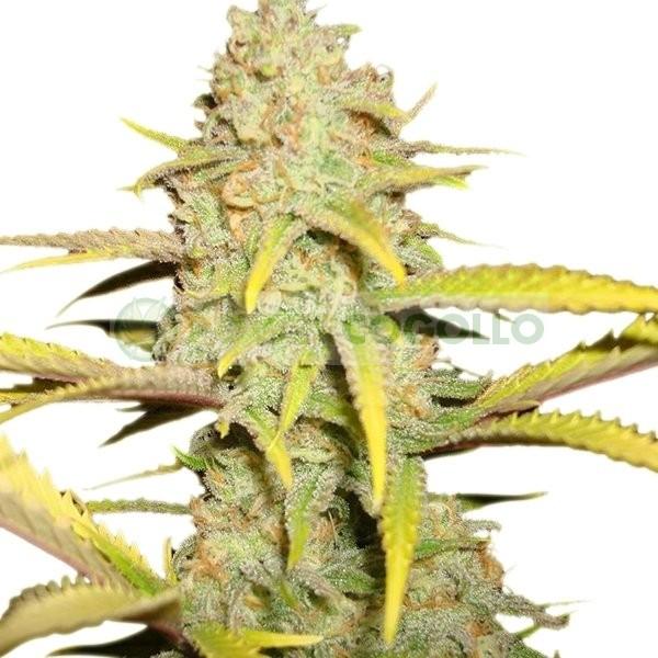 O.G. Kush (Royal Queen Seeds) Semilla cannabis Feminizada 0