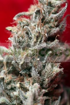 O' Haze red (Reggae Seeds) 0