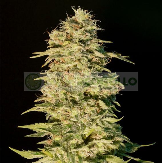Og Lemon Bilbo Feminizada (Genehtik Seeds) semillas marihuana 1