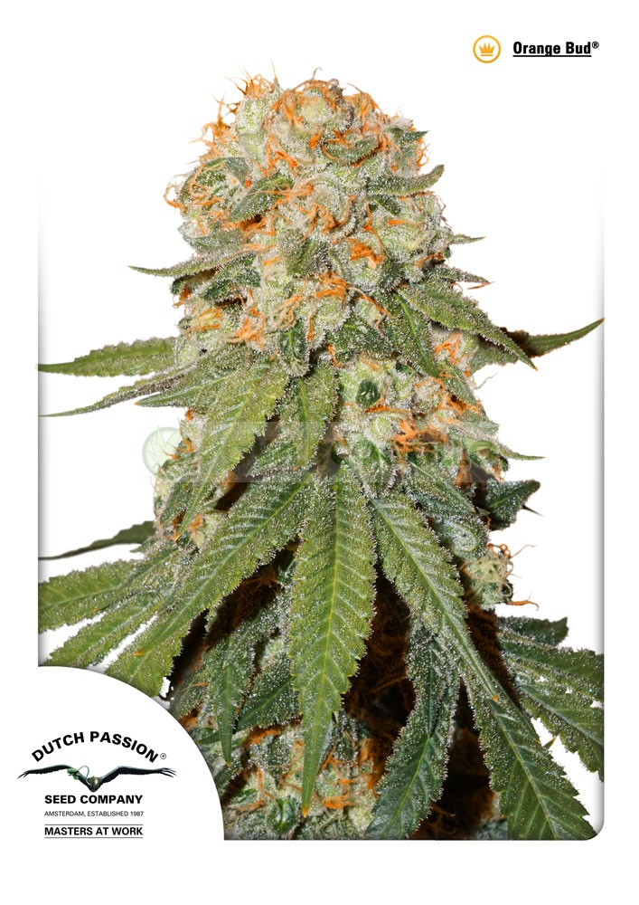 Orange Bud (Dutch Passion Seeds) Regular 1