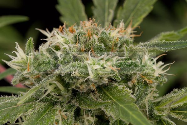 Original Strawberry Cough (Dinafem) Semilla Feminizada Marihuana 0