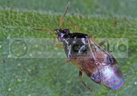 Orius Laevigatus (contra Trips) lucha biolócia predadores 0