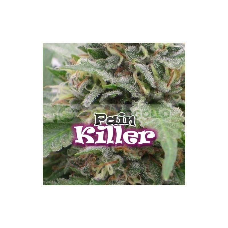 Painkiller (Dr. Underground Seeds) Semilla Feminizada Cannabis - Marihuana Painkiller (Dr. Underground Seeds) Hablamos de un híbrido creado exclusivamente para uso medicinal, si bien en las sativas buscamos efectos activos, en esta planta hemos creado lo  1