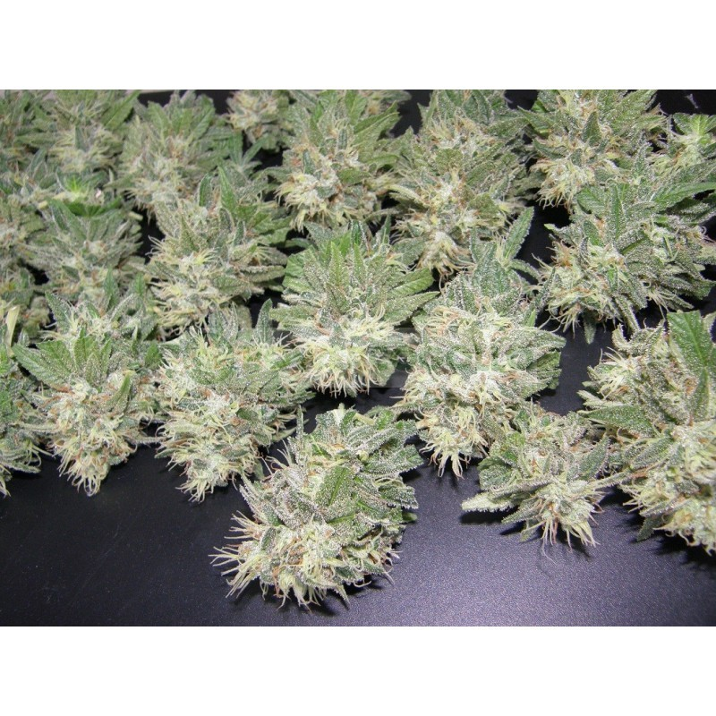 Painkiller (Dr. Underground Seeds) Semilla Feminizada Cannabis - Marihuana Painkiller (Dr. Underground Seeds) Hablamos de un híbrido creado exclusivamente para uso medicinal, si bien en las sativas buscamos efectos activos, en esta planta hemos creado lo  2