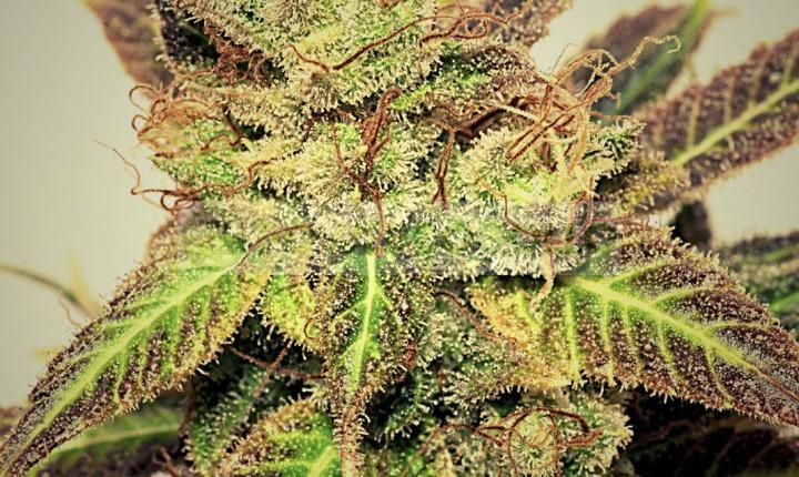 Pepiberry (Pepita Seeds) Semilla Feminizada Marihuana Barata 0