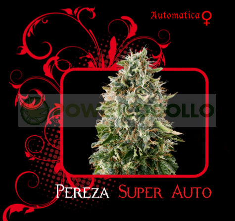 Pereza Super Auto (7 Pekados Seeds) Semilla feminizada Autoflorecidnte Marihuana Pereza Super Auto (7 Pekados Seeds) 0