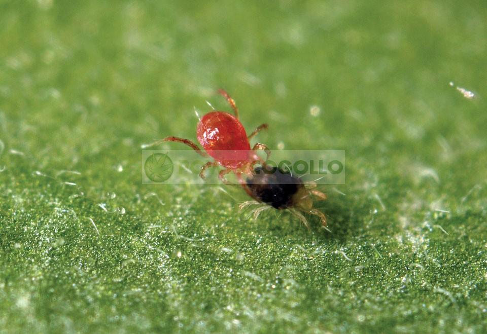 Phytoseiulus Persimilis (Contra Araña Roja) 0