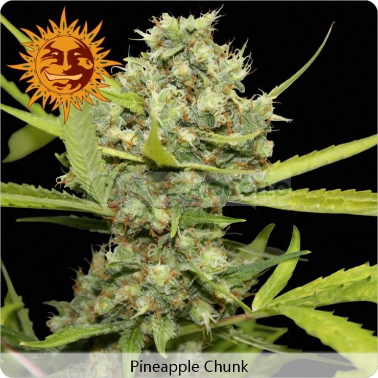 Pineapple Chunk (Barney´s Farm Seeds) 0