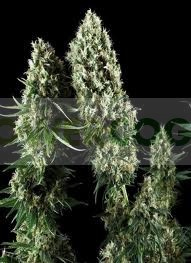 Power Flower (Royal Queen Seeds) 2
