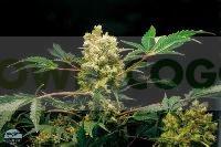 Semillas de marihuana Power Kush Feminizadas 100% 2