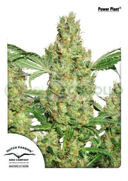 Power Plant Regular (Dutch Passion Seeds) 1