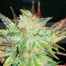 Prozack (Medical Seeds) Feminizada 0