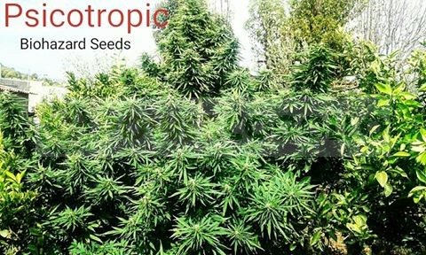 Psicotropic (Biohazard Seeds) 1