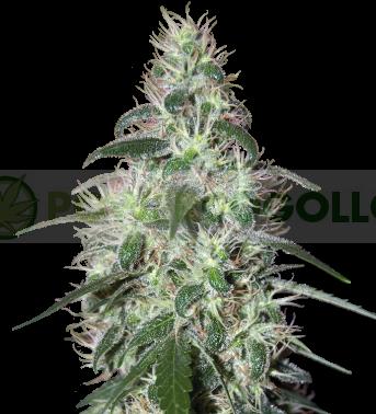Pulsar (Buddha Seeds) 1