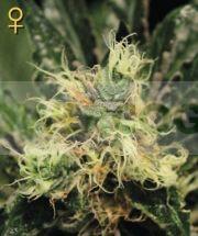 Pure Kush (Greeen House Seeds) Semilla Feminizada Marihuana - CAnnabis 0