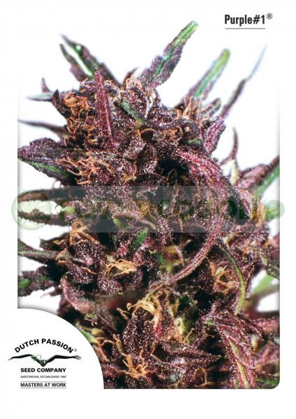 Purple #1 Regular (Dutch Passion) Semilla Cannabis-Marihuana 1