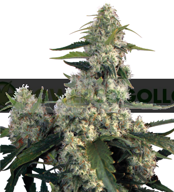 Quasar (Buddha Seeds) Semilla Feminizada de Cannabis 0