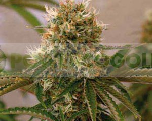 Red Cherry Berry (Barney´s Farm Seeds)  1