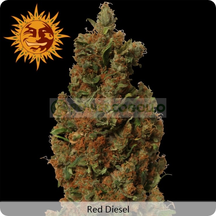 Red Diesel (Barney´s Farm Seeds) 0