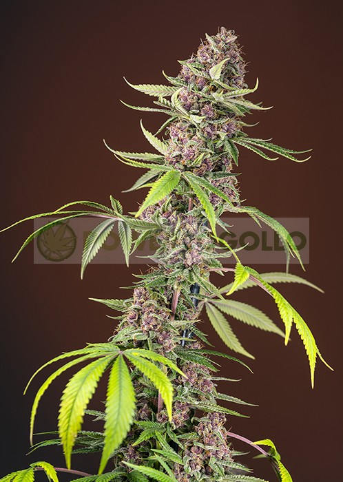 Red Mandarine F1 Fast Version (Sweet Seeds) Semillas  0