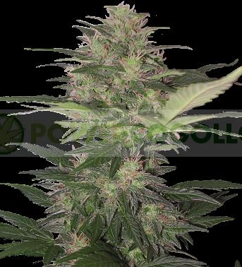 Red Dwarf (Buddha Seeds) Semilla Autofloreciente Feminizada 0