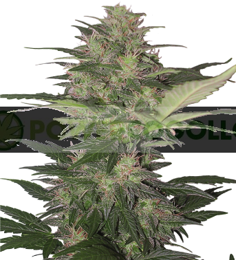 Red Dwarf Regular (Buddha Seeds) 0